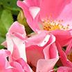 Шипрова цветна