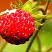 Шипрова плодова