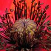 Ориенталска цветна