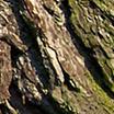 Дървесни цветни мускуси